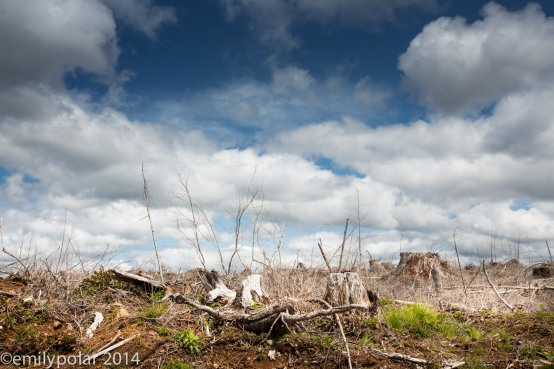 Tree stumps left in clear cut forest in rual Oregon.