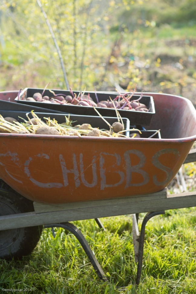 Wheel barrel full of sprouting potatoes at the Bullocks Farm on Orcas Island.
