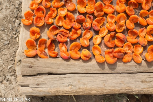 Apricots drying on racks at harvest time in Takmachik Village in Ladakh.