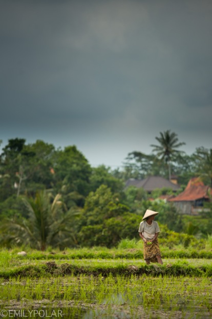 Balinese woman planting rice with woven hat in the rice fields of Ubud, Bali.