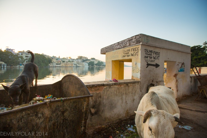 Cows and dogs hang out near dumpster getting breakfast in Udaipur, India.