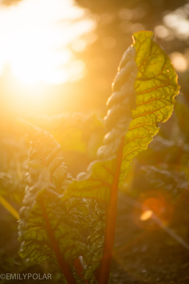 Swiss chard in golden sunset light at the garden at Esalen in Big Sur.
