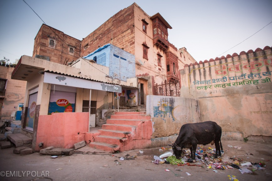 Black cow eating scraps left out in a neighborhood alley of Jodhpur, India.