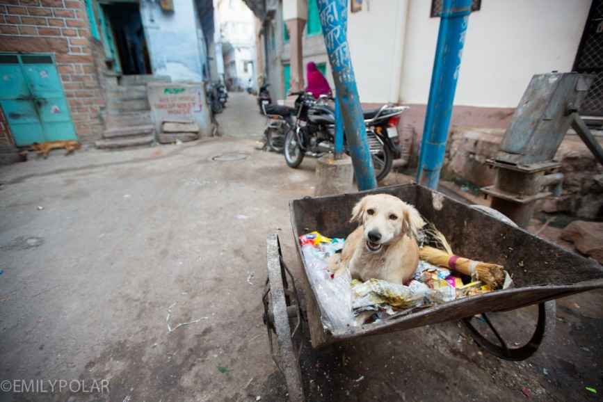 Dog sitting with snacks in trash bin on wheels in the streets of Jodhpur.