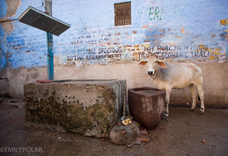 White cow drinking water out of a large stone vase in the streets of Jodhpur.