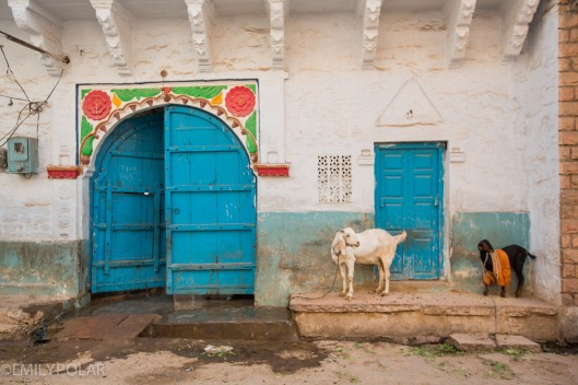 Goat tied up outside home next to big blue doors in Jodhpur, Rajasthan.