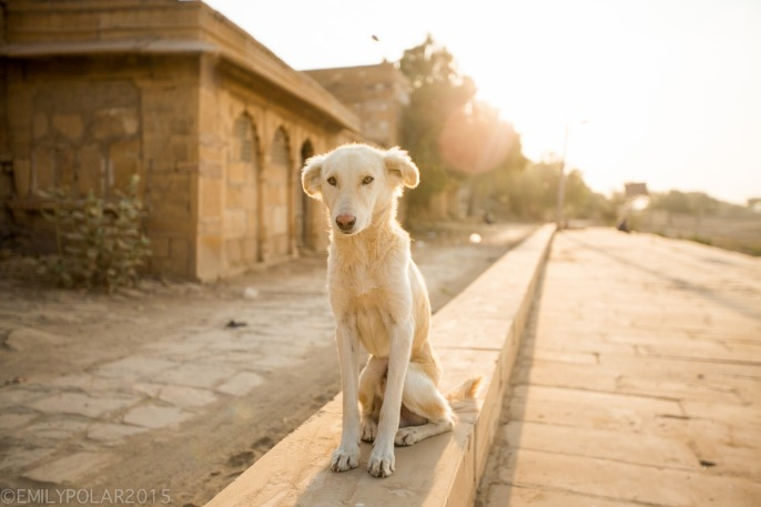 The cutest white dog sitting in the bright sunrise at Sagar Lake, Jaisalmer.