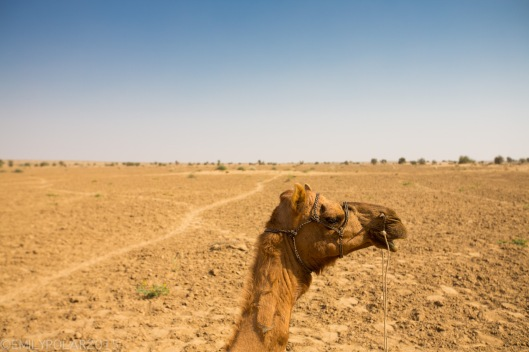 Close up profile of a camel in the barren Thar desert of Rajasthan.