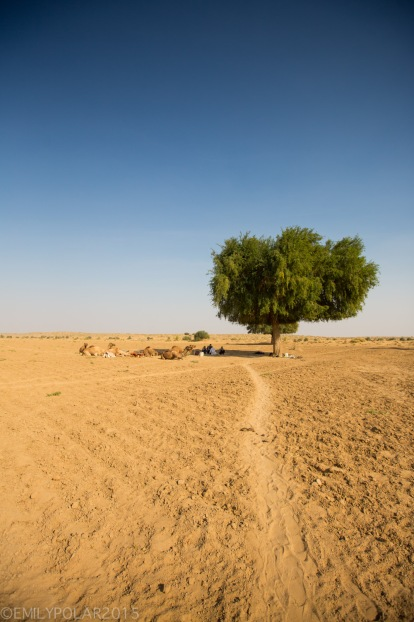 One tree stands in the middle of the dry Thar desert providing shade for tourists and travelers.