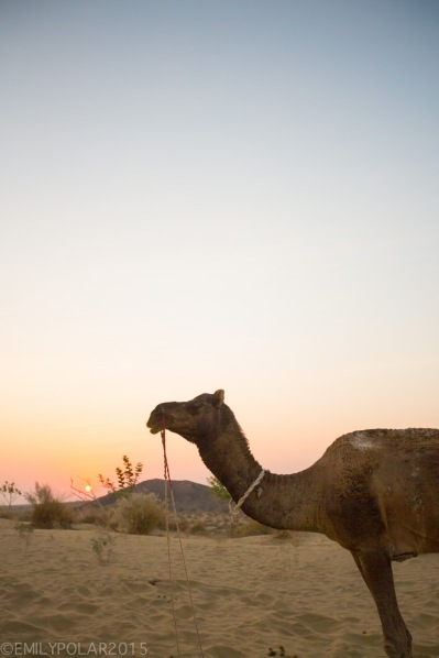 Portrait of a camel standing at attention in the sunset of the Thar desert.