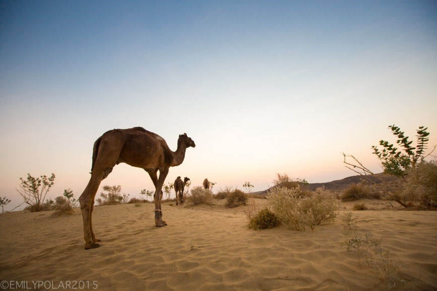 Camels hanging out at sunset on the warm sand of the Thar Desert in Rajasthan, India.