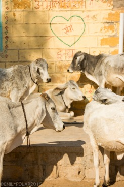 Cute young white ox hang out in the sun in a small village in the Thar Desert.