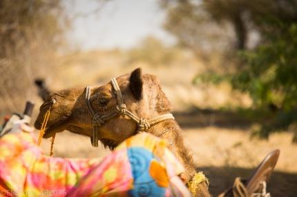 Portrait of a camel in the Thar desert.