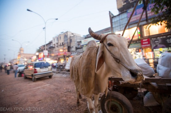 Cute white ox with horns taking a break for a snack in the streets of Old Delhi, India.
