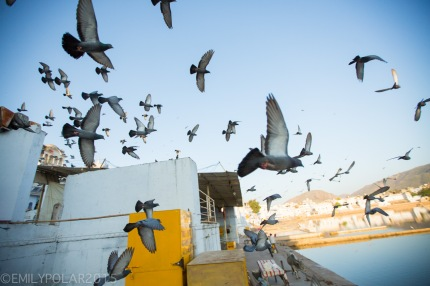 Pigeons flying over Pushkar lake at sunset in Rajasthan, India.