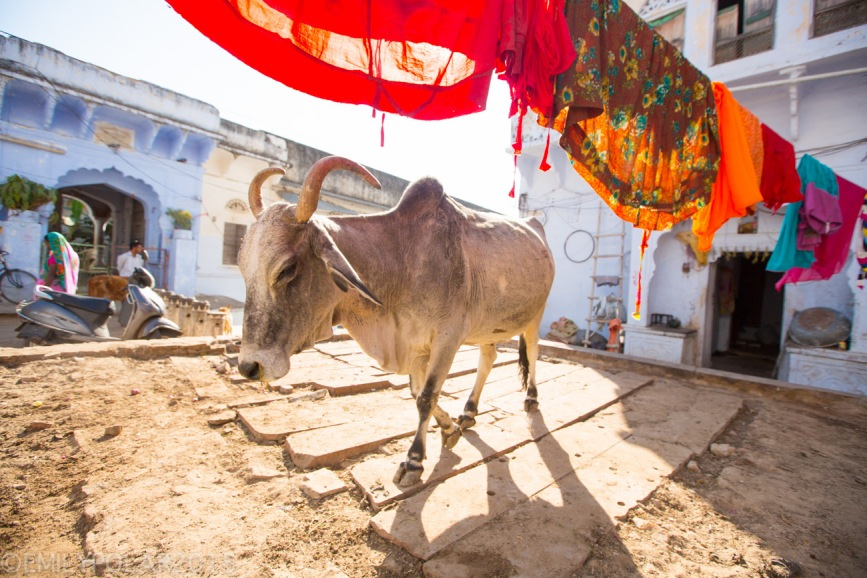 Colorful laundry hanging on the clothes line at home with an Ox in Lake Pushkar, Rajasthan.