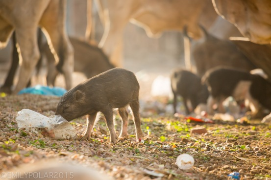 Cute baby pigs dig around in piles of plastic and trash in Pushkar, India.