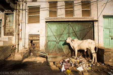 White ox eating trash on the streets in Pushkar, India.