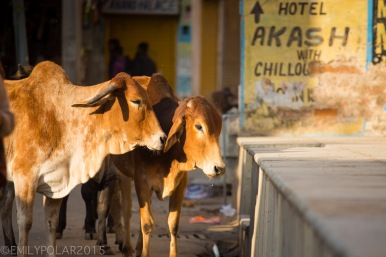 Two ox warming themselves in the morning sunlight in the streets of Pushkar.