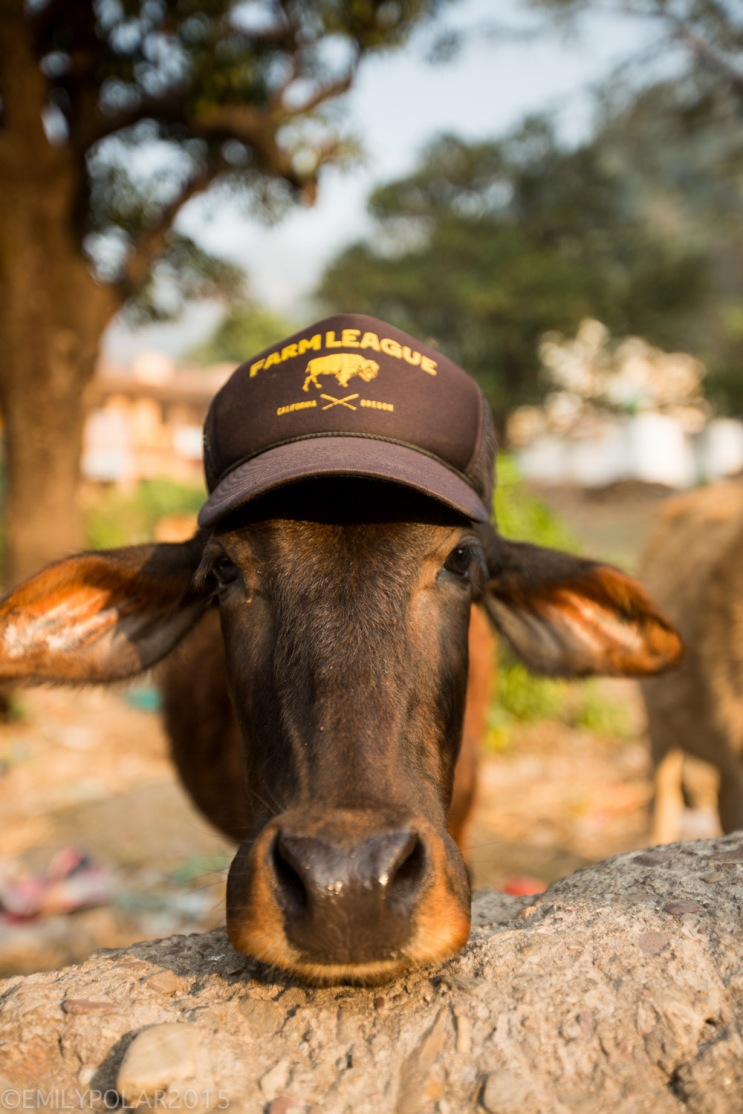 Cute cow wearing a Farm Legaue hat in Rishikesh.