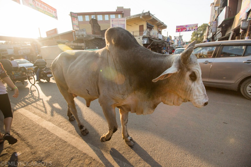 Huge ox walking down the busy streets in Rishikesh, India.