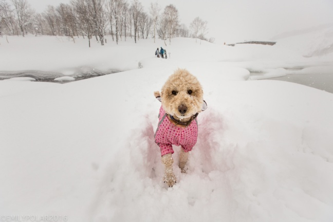 Adorable Japanese dog with a blonde curly coast in a cute pink jacket running in the snow of Niseko, Japan.