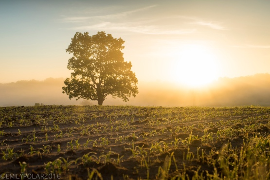 Golden sunrise morning in the rural fields where an oak tree stands in the glowing Wisconsin light.