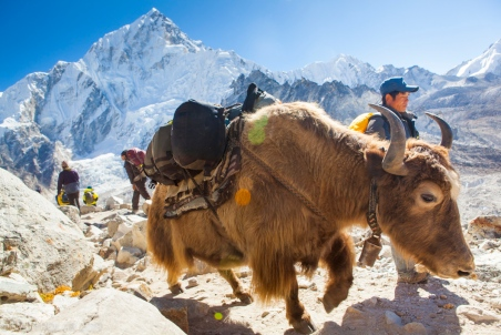 A domesticated yak and his driver make their way from Everest base camp with Nuptse rising high in the background. Yaks are heavily built animals fit for the cold and high altitudes making them perfect for the conditions of the high Himalaya of Nepal.