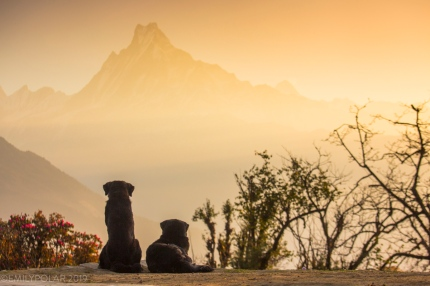 Two dogs take in the view of Machapuchare mountain from Tadapani in the Annapurna region, Nepal.